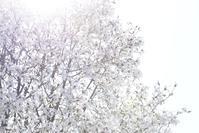マグノリア - お花びより