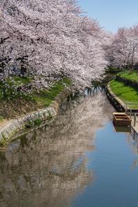 新河岸川の桜@川越 - デジカメ写真集