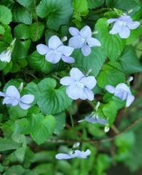 菫ほどな小さい人(A little person like a violet) - ももさへづり*やまと編*cent chants d'une chouette (Yamato*Japon)