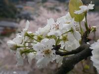 満開の桜と庭に咲く梨の花 - 意外に忙しい田舎生活「 陶芸工房Satoh.」より