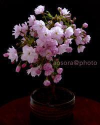 御室桜 - あ お そ ら 写 真 社