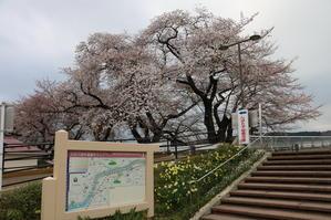 白石川堤「一目千本桜」&船岡城址公園の桜・花園・・・1 - 米沢より愛をこめて・・