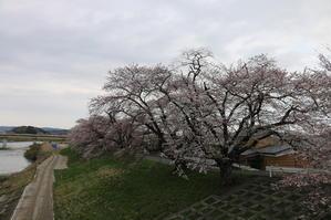 白石川堤「一目千本桜」&船岡城址公園の桜・花園・・・2 - 米沢より愛をこめて・・