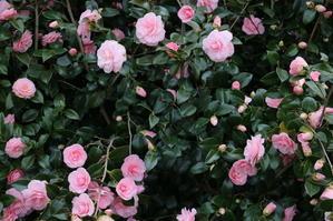 白石川堤「一目千本桜」&船岡城址公園の桜・花園・・・3 - 米沢より愛をこめて・・