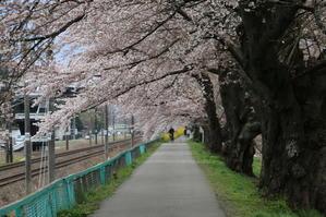 白石川堤「一目千本桜」&船岡城址公園の桜・花園・・・6 - 米沢より愛をこめて・・