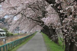 白石川堤「一目千本桜」&船岡城址公園の桜・花園・・・5 - 米沢より愛をこめて・・