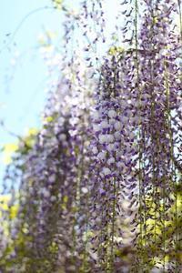 藤の花wisteria flowers - HAPPY to ...