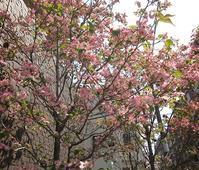ハナミズキ(中平) - 柚の森の仲間たち