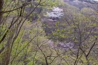 奥武蔵山中の新緑と桜 - デジカメ写真集