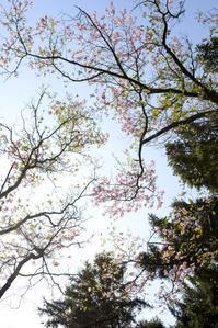 ハナミズキ - お花びより