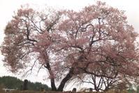 高遠での桜をもう少し・・・ - 光の贈りもの