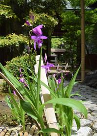 ◆花情報◆紫蘭(シラン)が咲いています☆ - 名鉄犬山ホテル情報