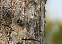コゲラ - 写真で綴る野鳥ごよみ