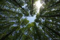 メタセコイアの森 - 光の贈りもの