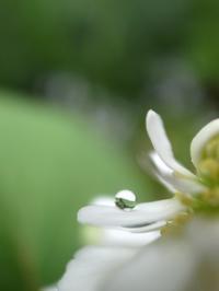 ワタシはドクダミ2 - お花びより