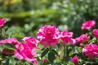 薔薇 -ボルナ編- - 光の贈りもの