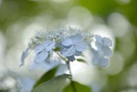 紫陽花の季節 - お花びより