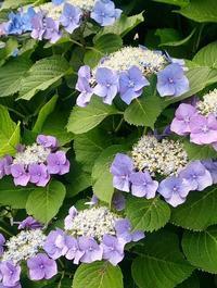 紫陽花のころ - そばやの娘の話