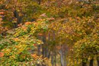 ブナ林の紅葉@大厳寺高原 - デジカメ写真集