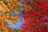 高麗神社の紅葉 - デジカメ写真集