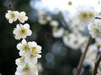花ごもり25(Hibernation Printanière 25) - ももさへづり*やまと編*cent chants d'une chouette (Yamato*Japon)