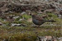 ヤマヒバリ - 野鳥フレンド  撮り日記