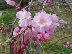 桜 - SMILE LIFE
