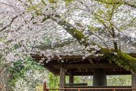 川越の桜 - デジカメ写真集