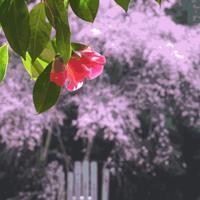 椿の寺の墓守 - 鯵庵の京都事情