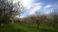 春のシードル街道 - ブルゴーニュ田舎便り