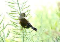 カワラヒワ - 写真で綴る野鳥ごよみ