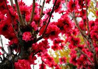 春をたくさん呼びましょう - Miwaの優しく楽しく☆