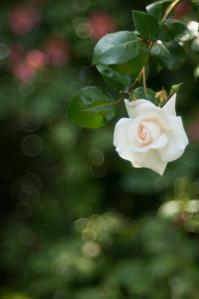 薔薇 #03 - 光の贈りもの