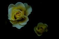 薔薇 #04 - 光の贈りもの
