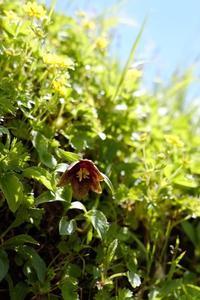 黒百合Chocolate Lily - tabi & photo-logue vol.2