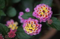 6月から咲きだす花Ⅱ - みすずのつぶやき
