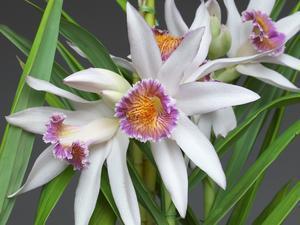 Thunia brymeriana - 花咲か父さん 洋らん栽培