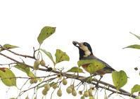 我が家ーヤマガラ、コゲラ - 写真で綴る野鳥ごよみ