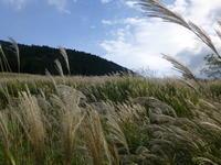 箱根仙石原の「すすき」が見頃をむかえます。 - はこね旅市場(R)日記