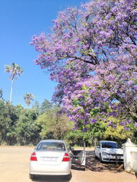 『ジャカランダ』 南アフリカの春。 - ゴローザ通信