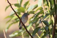 ニシオジロビタキ♂ - 野鳥フレンド  撮り日記