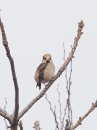 枯れ枝のシメ - コーヒー党の野鳥と自然 パート2