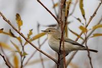関東では9年ぶりのチフチャフ - T/Hの野鳥写真-Ⅱ