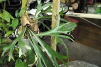 Platycerium 'マダガスカル' - PlantsCade -2nd effort
