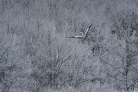 アオサギ、霧氷に舞う - やぁやぁ。