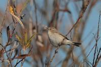 Chiffchaff - 野鳥フレンド  撮り日記
