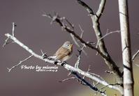 稀な野鳥 ニシオジロビタキ - azure 自然散策 ~自然・季節・野鳥~