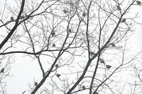 カシラダカ今季初撮り - 上州自然散策2