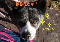 新人の紗弥花(さやか)ちゃんです♪ - もももの部屋(怖がりで攻撃性の高い秋田犬のタイガ、老犬雑種のベスの共同生活&保護活動の記録です・・・時々お空のモカも登場!)