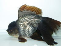 1月5日新着金魚のご紹介です。 - フルタニ金魚倶楽部blog